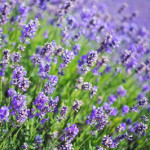 Aromatherapy and Lavender