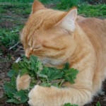 Catnip As A Natural Remedy